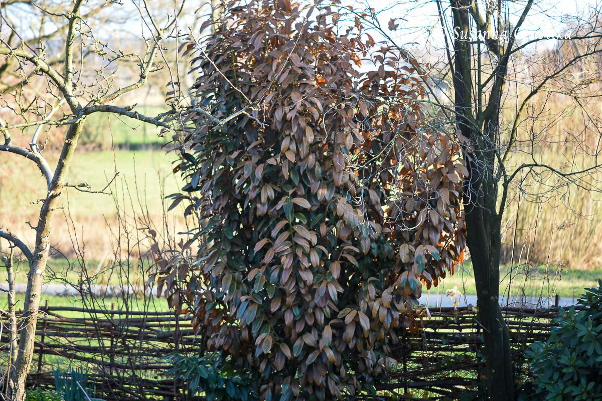 Kein schöner Anblick: eine Lorbeerkirsche mit braunen Blättern