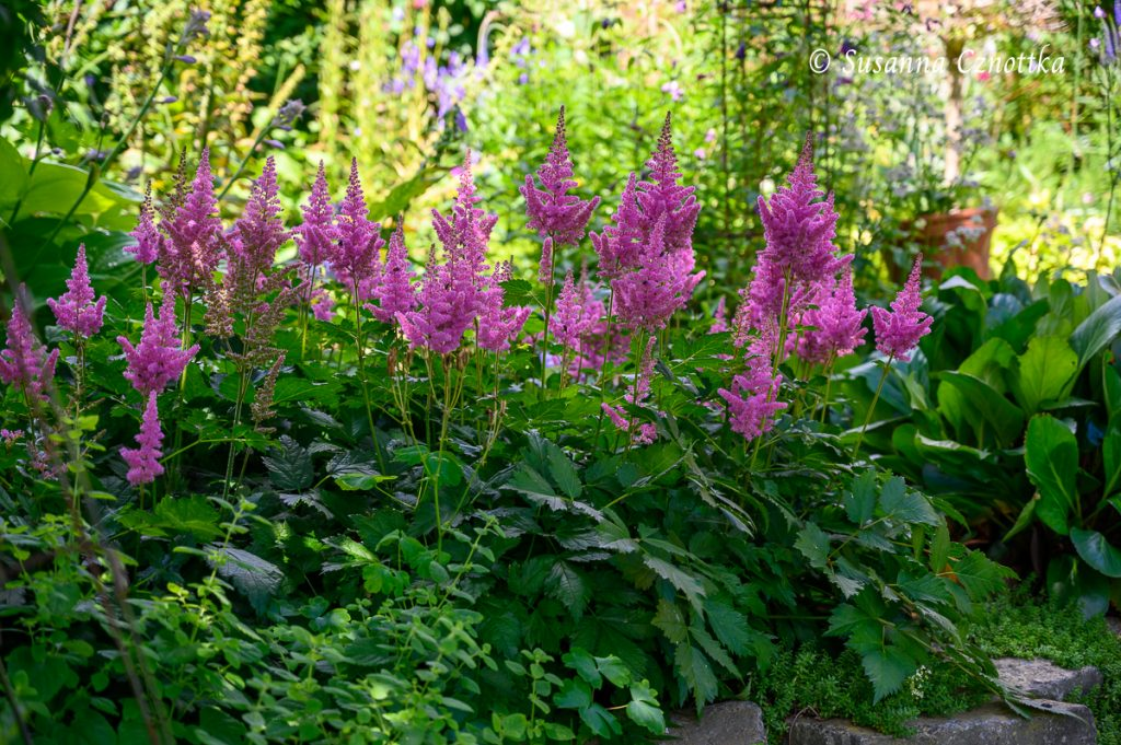 """Prachtspiere """"Visions in Pink"""" (Astilbe chinensis """"Visions in Pink"""")"""