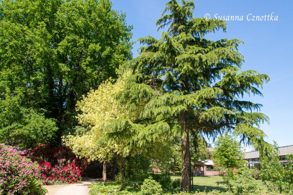 """Laubkontrast, Gelbbunter Eschenahorn (Acer negundo """"Aureo-Variegatum"""")"""