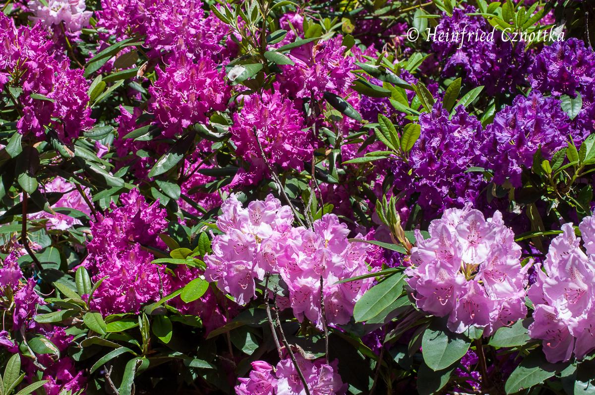 Üppige Rhododendronblüten