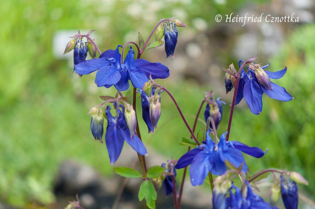 Wundervolles Blau: eine Alpen-Akelei (Aquilegia alpina)