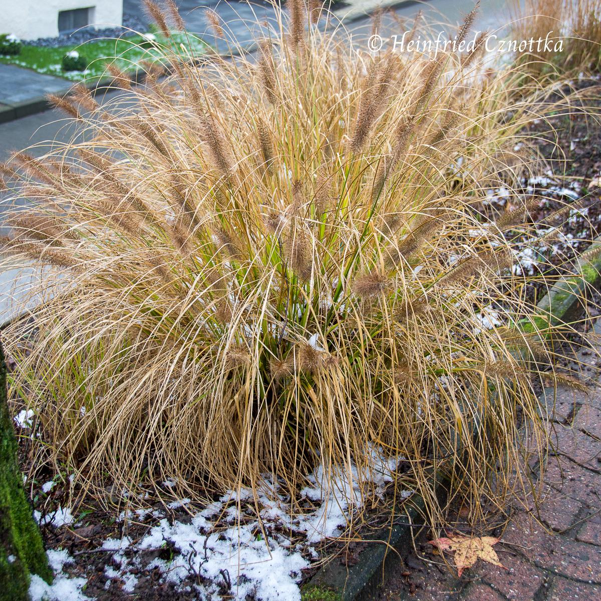 Samenstände im Winter Lampenputzergras (Pennisetum Hameln)
