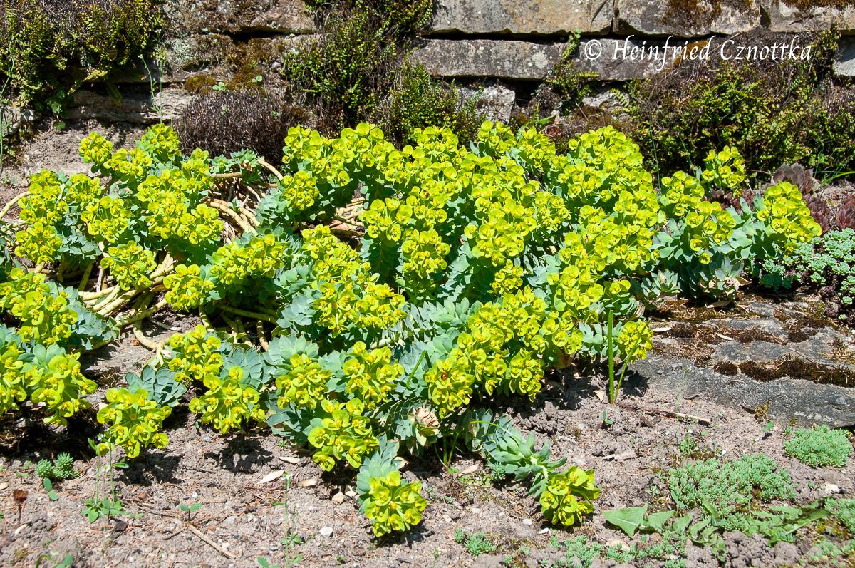 Walzenwolfsmilch (Euphorbia myrsinites) in Blüte