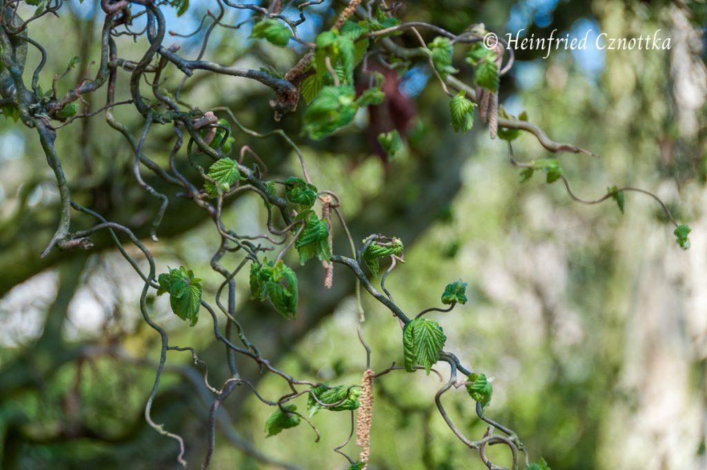 """Frischer Austrieb der Korkenzieherhasel (Corylus avellana """"Contorta"""")"""