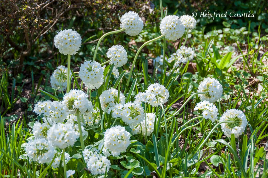 """Kugelprimel (Primula denticulata """"Alba"""")"""