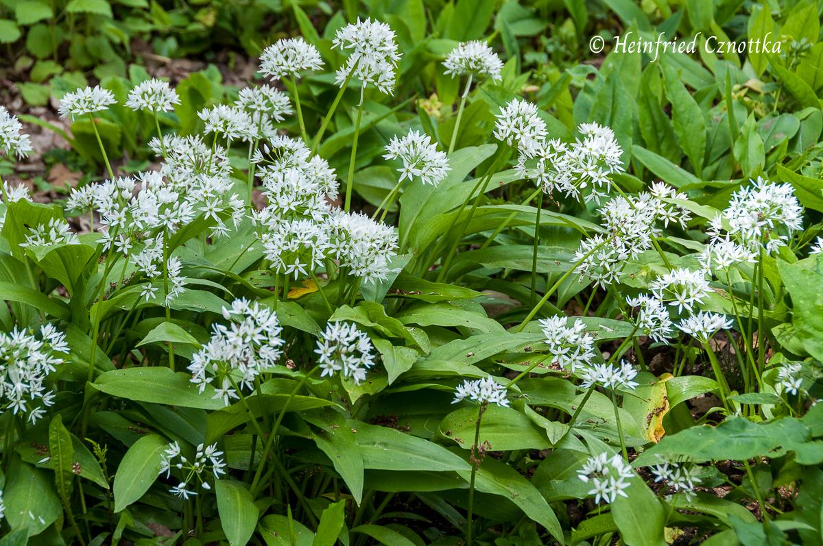 Bald werden die weißen Blütenkugeln des Bärlauchs durch den Wald leuchten.