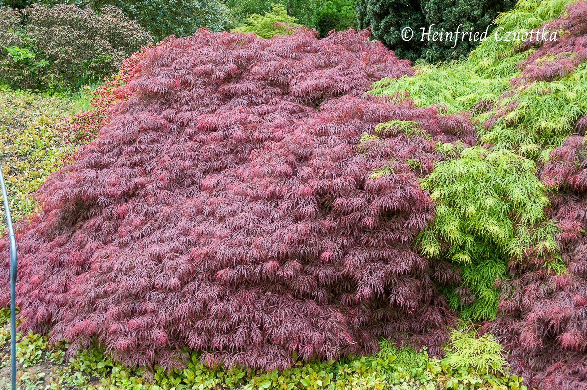 Laubkontrast, Schlitzahorne (Acer palmatum)
