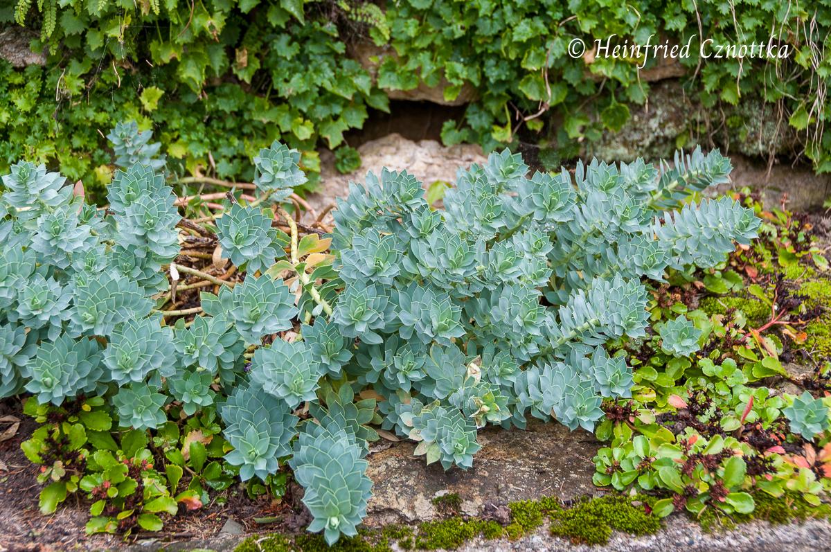 Walzenwolfsmilch (Euphorbia myrsinites) Struktur