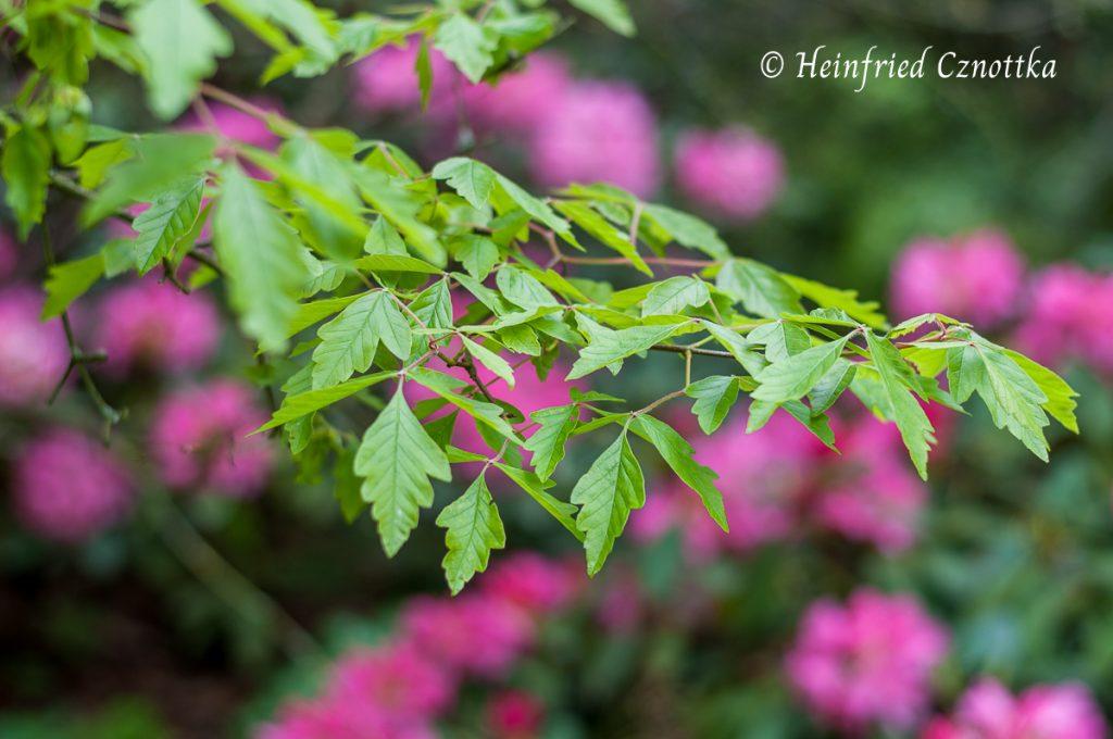 Die Blätter des Zimtahorns haben eine hübsche dreiteilige Form
