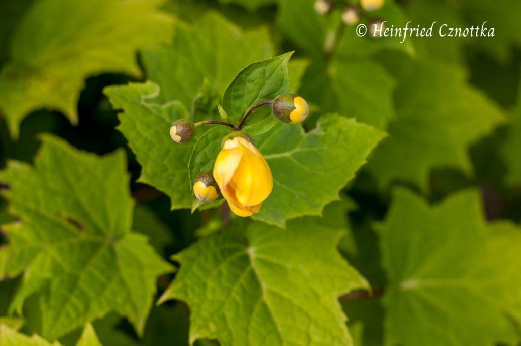 Japanische Wachsglocke (Kirengeshoma palmata)