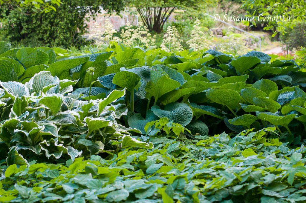 Verschiedene Funkien (Hosta) und Elfenblume (Epimedium)