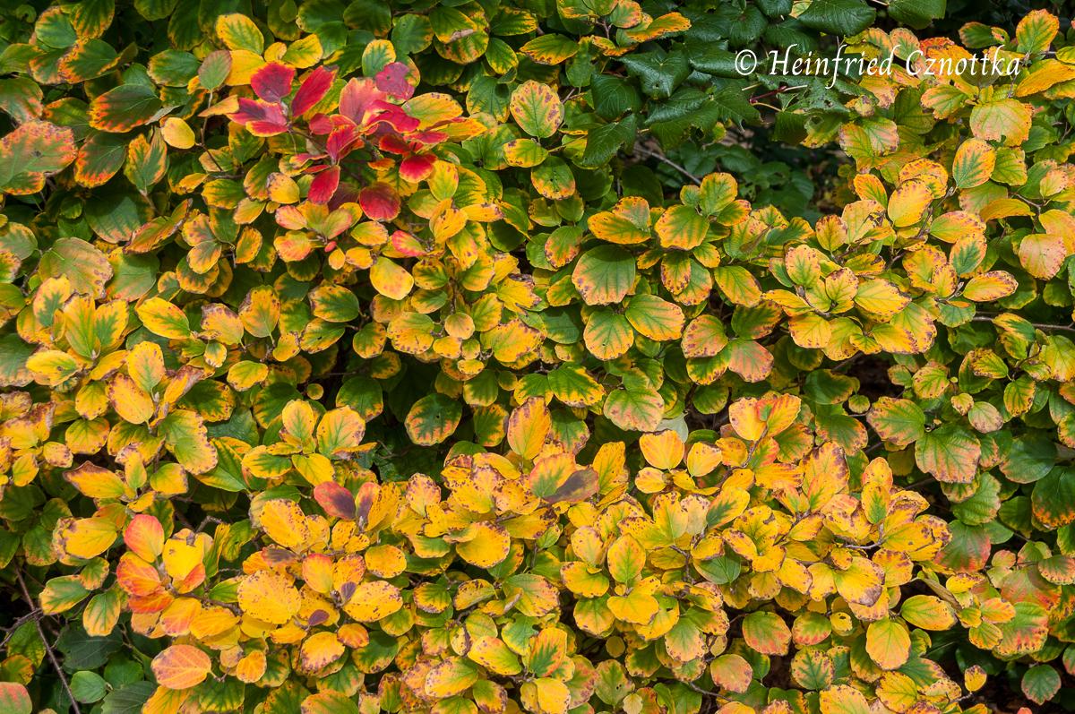 Die Herbstfärbung des Federbuschstrauches beginnt