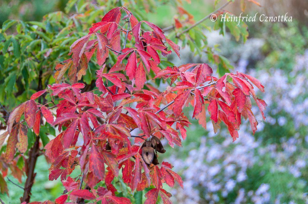 Das Herbstlaub des Zimtahorns (Acer griseum)