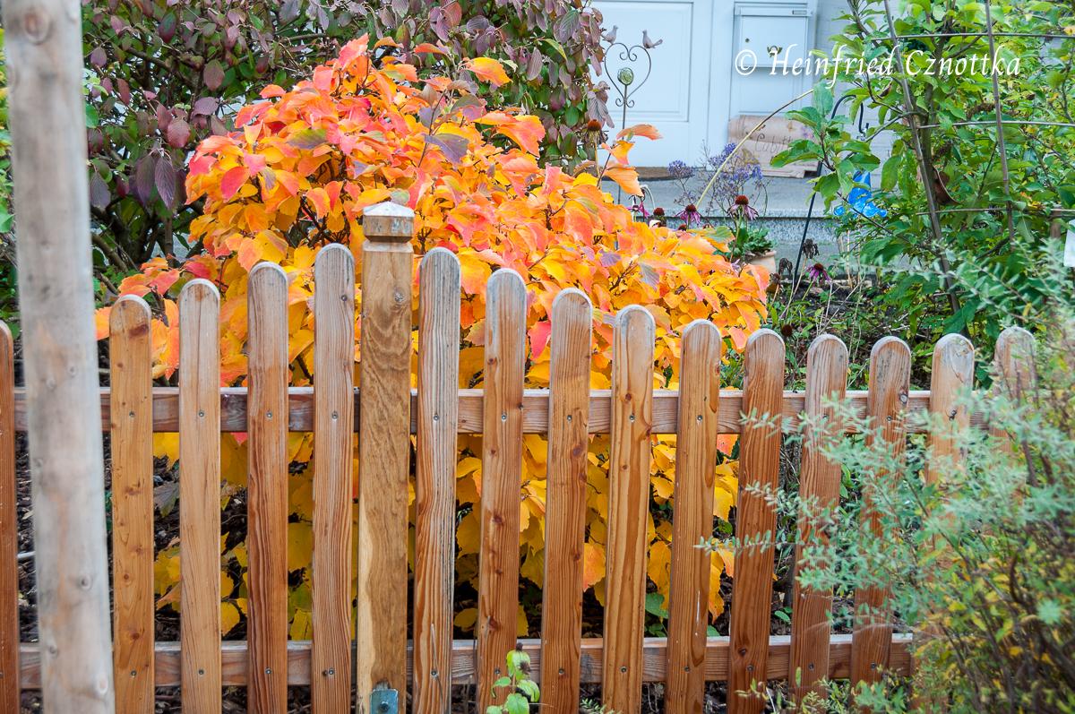 Hoher Federbuschstrauch (Fothergilla major) mit leuchtend orangem Herbstlaub