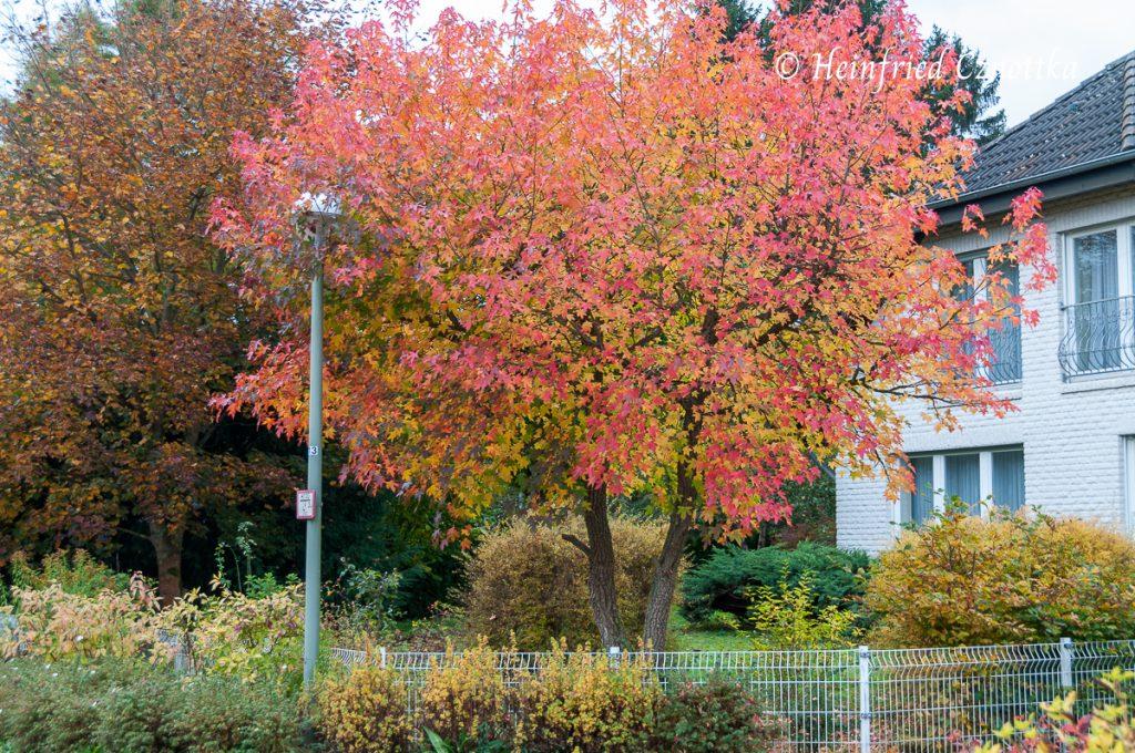 Ein Amberbaum (Liquidambar styraciflua) im Herbstkleid
