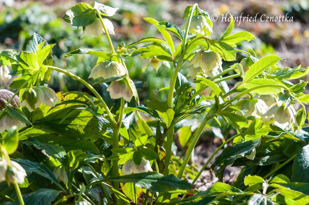 "Weiße getüpfelte Lenzrose (Helleborus orientalis) ""White Spotted Lady"""