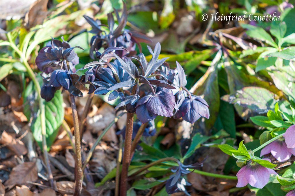 """Die Lenzrose """"Blue Metallic"""" hat schwarzrote Blüten"""