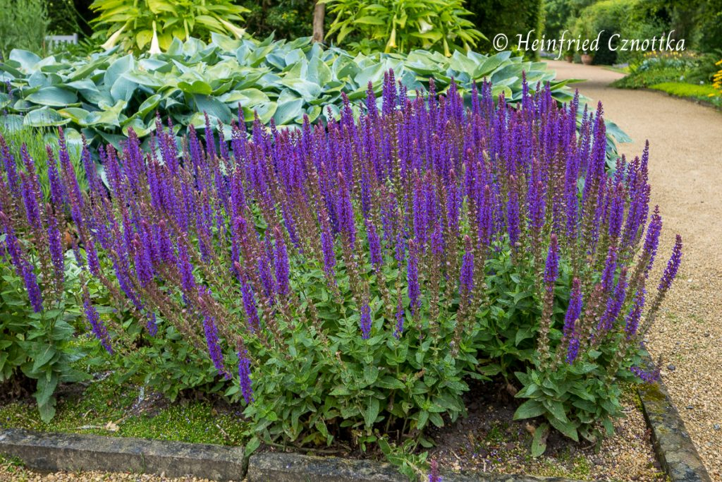 "Steppensalbei ""Ostfriesland"", Salvia nemorosa ""Ostfriesland"""