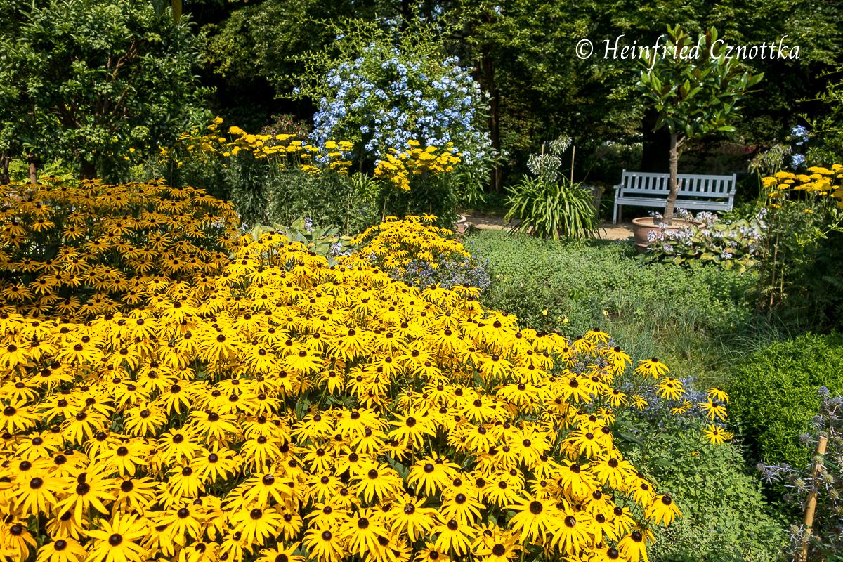 "Rudbeckia fulgida var. sullivantii ""Goldsturm"" im botanischen Garten Gütersloh"