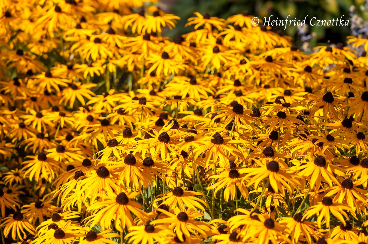 """Rudbeckia """"Goldsturm"""" wirkt flächig gepflanzt wie purer Sonnenschein"""
