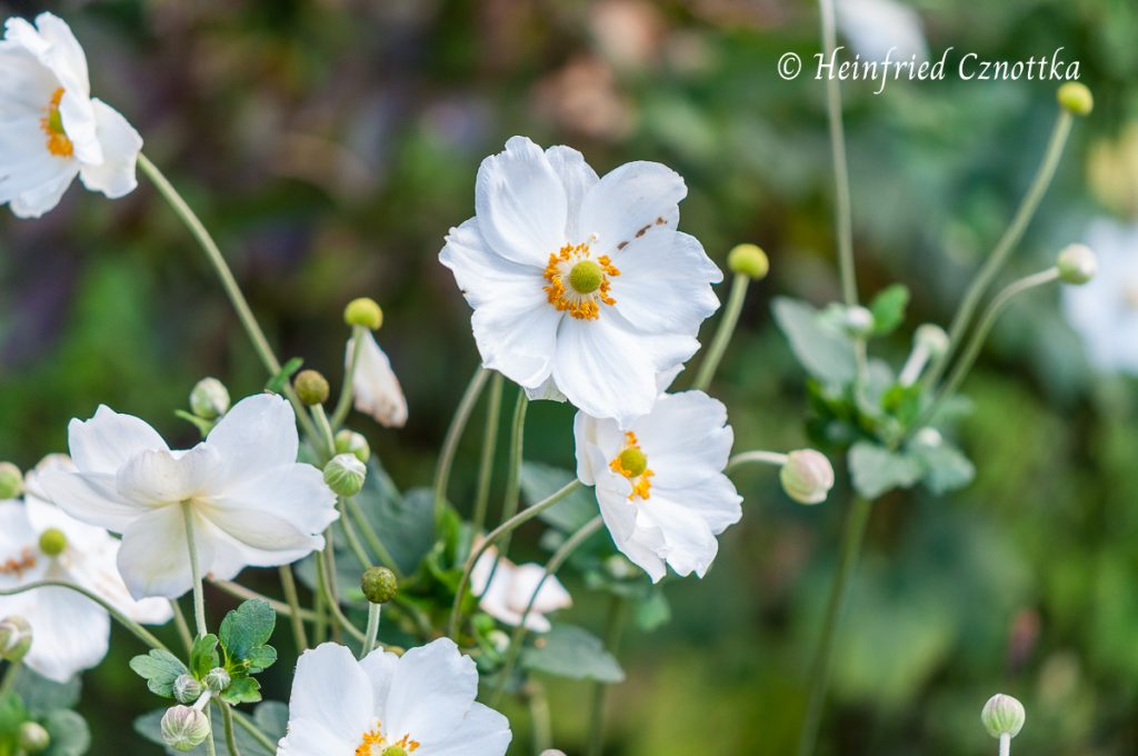 """Herbst-Anemone """"Honorine Jobert"""" (Anemone Japonica-Hybride """"Honorine Jobert"""")"""