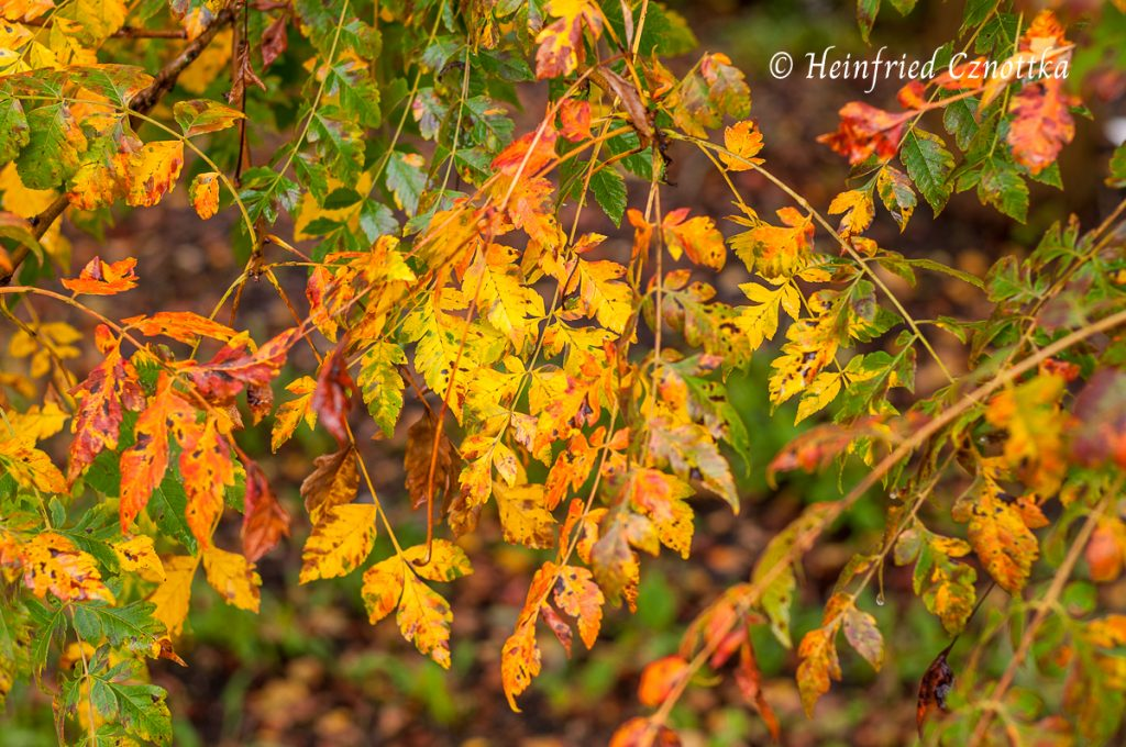 Blasenesche (Koelreuteria paniculata) im Herbstkleid