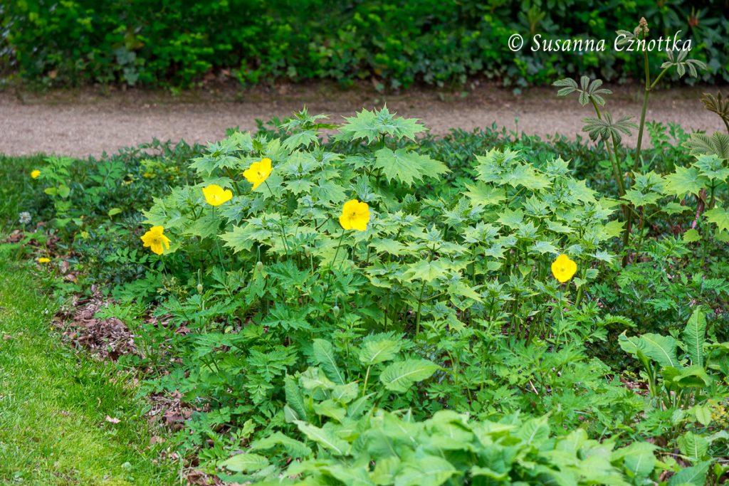 Wachsglocke mit dem gelben Wald-Scheinmohn (Meconopsis cambrica)