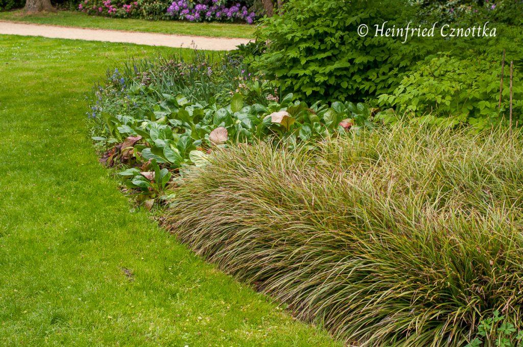"""Bergenie und Weißbunte Japan-Segge (Carex morrowii """"Variegata"""") bilden einen schönen Beetabschluss."""