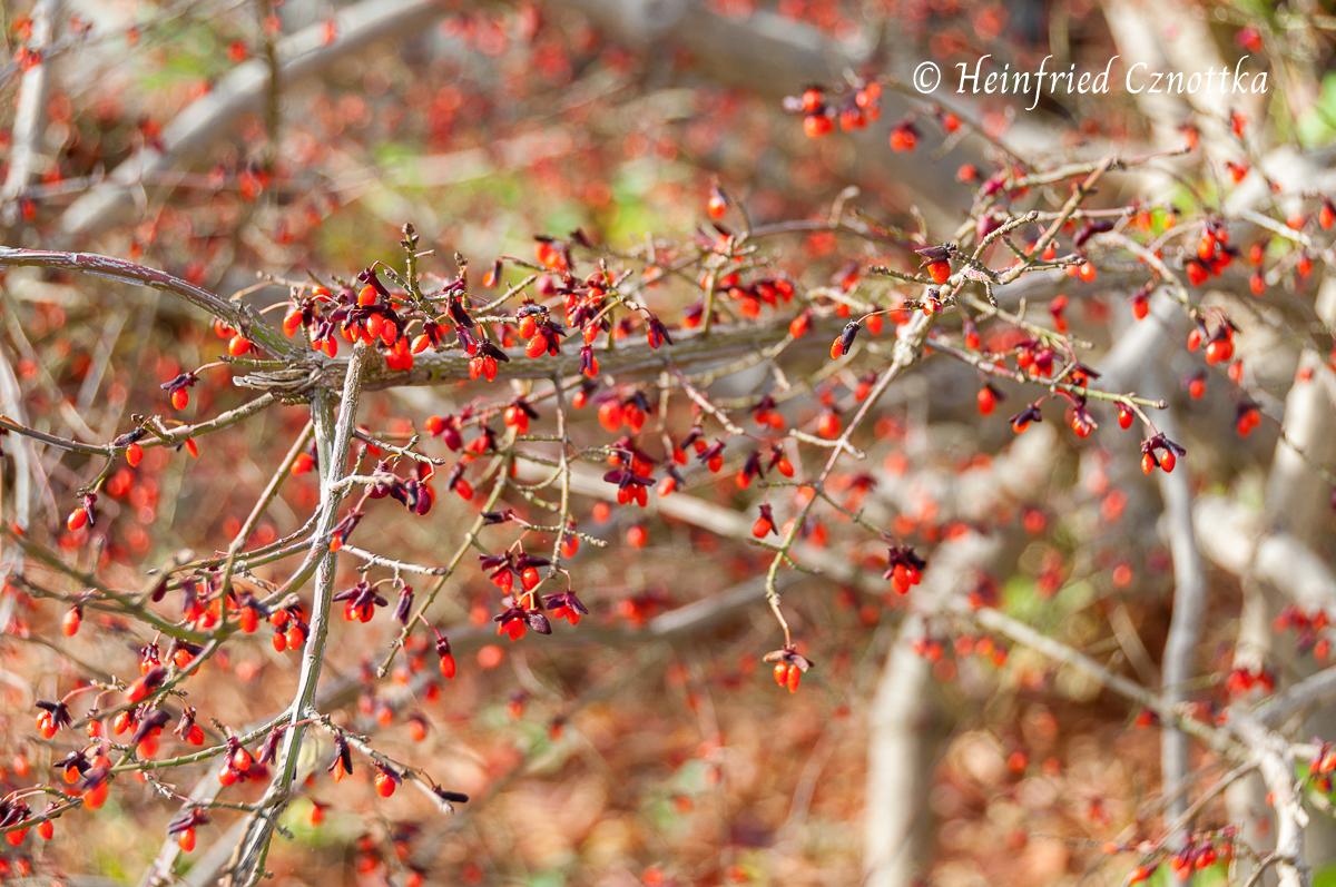Kleine orangerote Früchte zieren den Korkspindelstrauch nach dem Laubfall.