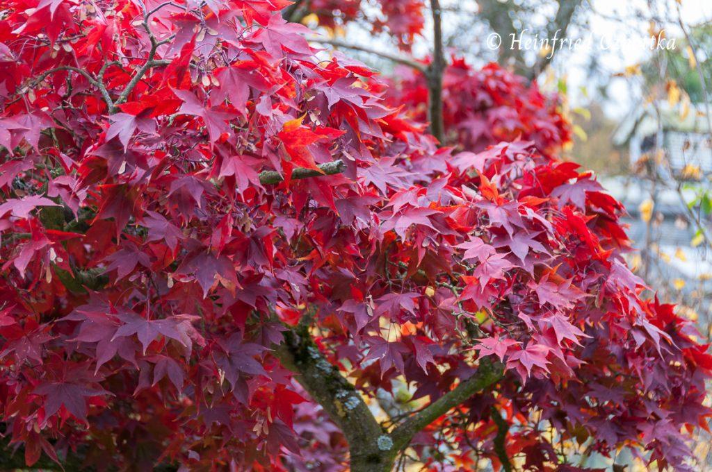 """Der Fächerahorn """"Osakazuki"""" (Acer palmatum var. heptalobum ) färbt sich im Herbst leuchtend rot."""