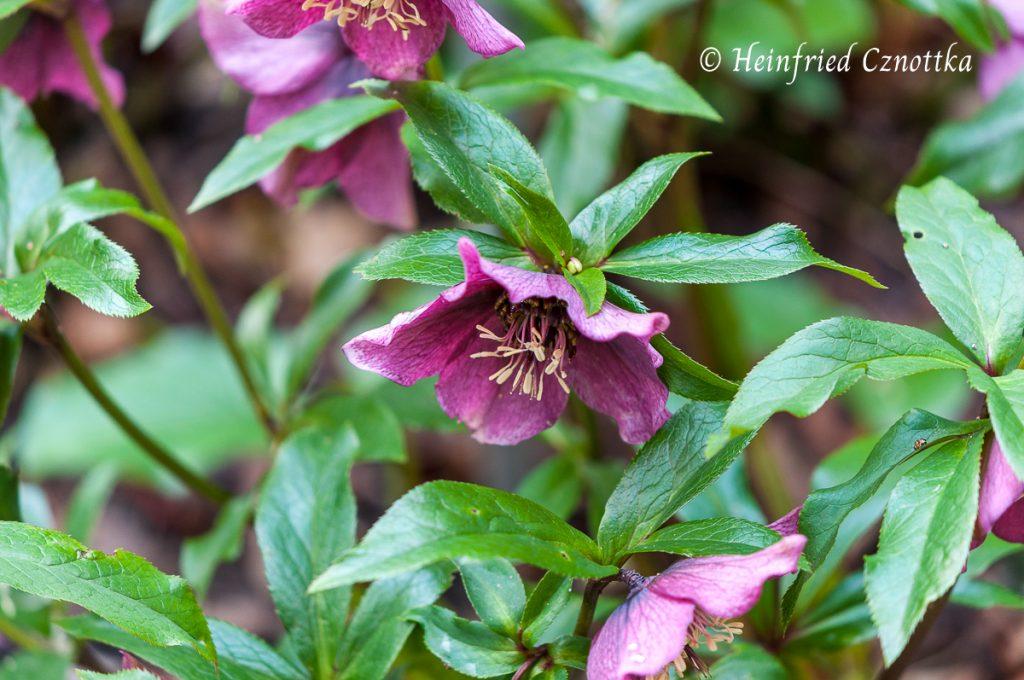 "Rote Lenzrose (Helleborus orientalis) ""Red Lady"""