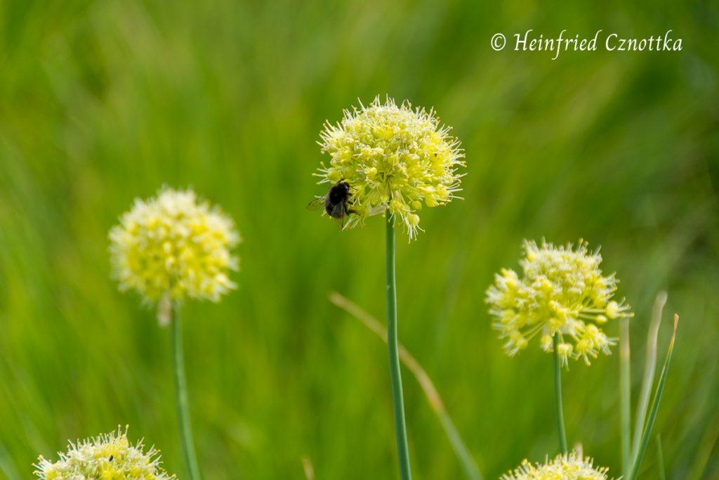 Scharfer Gelblauch, Allium obliquum