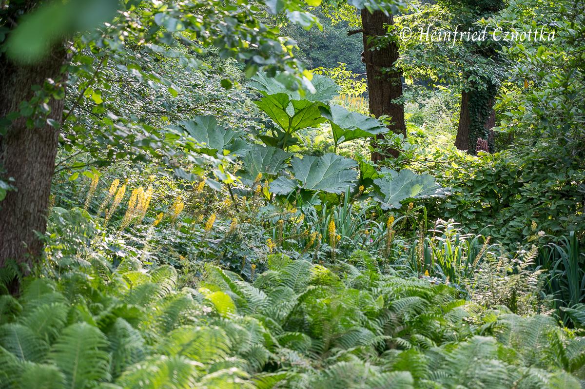 Mammutblatt (Gunnera manicata), Kerzen-Greiskraut (Ligularia przewalski) (Rombergpark Dortmund)