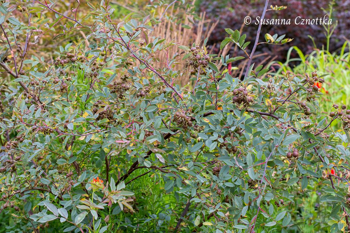 Hechtrose (Rosa glauca) mit Hagebutten (Rombergpark Dortmund)