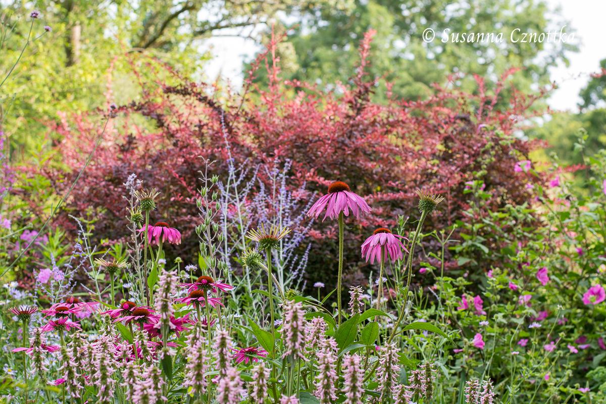 Roter Scheinsonnenhut (Echinacea purpurea), Zottiger Ziest (Stachys monnieri), Blauraute (Salvia yangii syn. Perovskia atriplicifolia) (Rombergpark Dortmund)