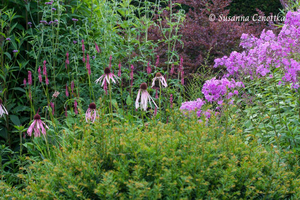 Bleicher Scheinsonnenhut (Echinace pallida), Hohe Flammenblume (Phlox), Eibenkugel (Taxus)