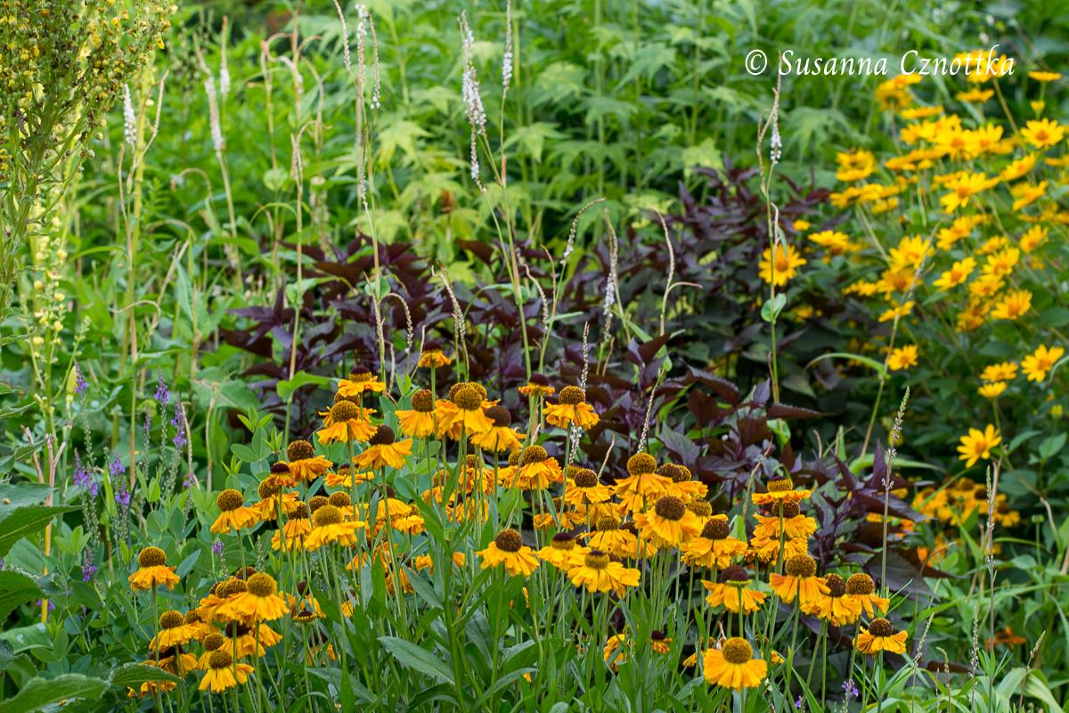 "orange-braune Sonnenbraut (Helenium), Wasserdost ""Chocolate"" (Ageratina altissima ""Chocolate"") (Rombergpark Dortmund)"