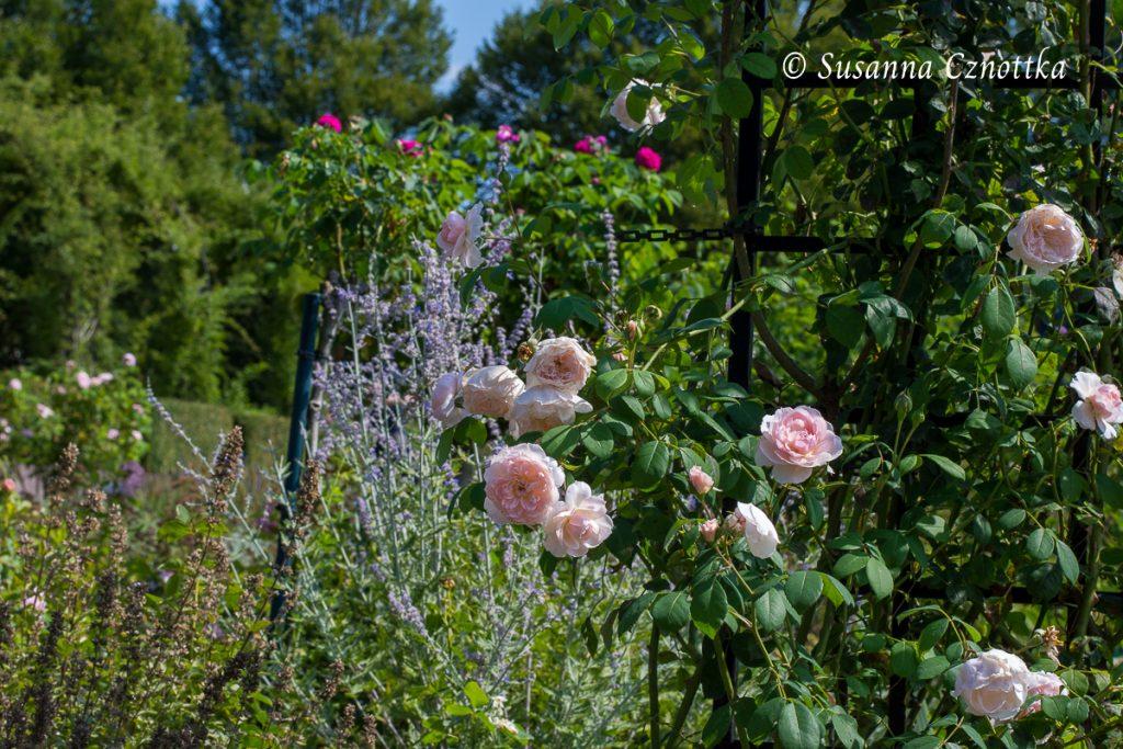"""Zauberhaft pastellig sind die Strauchrose """"Wisley"""" und die Blauraute (Salvia yangii syn. Perovskia)"""