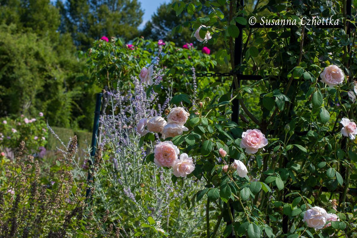 """Zauberhaft pastellig sind die Strauchrose """"Wisley"""" und die Blauraute (Salvia yangii syn. Perovskia) (Westfalenpark Dortmund)"""