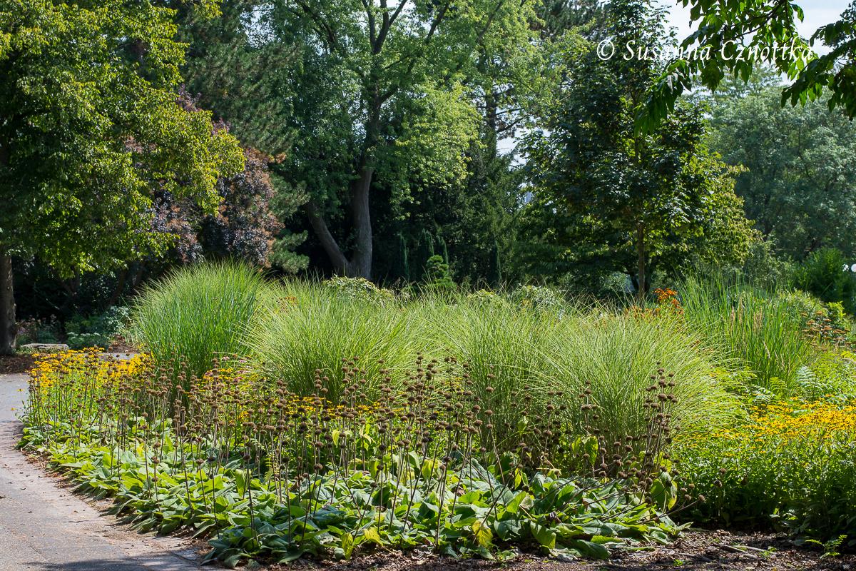 """Syrisches Brandkraut (Phlomis russeliana) mit Chinaschilf (Miscanthus sinensis """"Morning Light"""") (Westfalenpark Dortmund)"""
