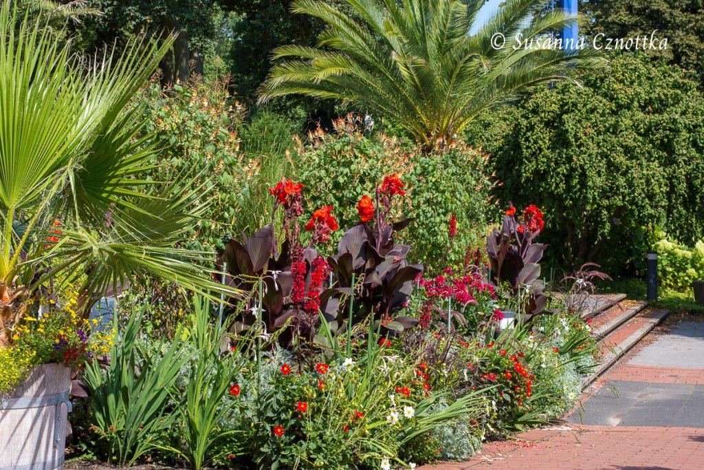 Exotisch: rotlaubiges Indisches Blumenrohr, rote Dahlien, Hanfpalme und Kanarische Dattelpalme