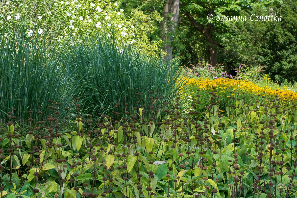 Bläuliche Halme der Gräser kontrastieren in Form und Farbe mit dem Syrischen Brandkraut (Phlomis russeliana) (Westfalenpark Dortmund)