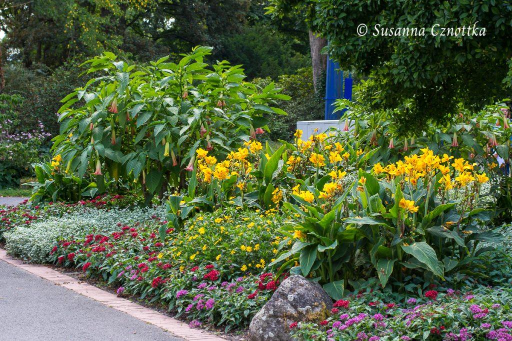 Tropischer Look mit Engelstrompete (Brugmansia) und gelbem Indischem Blumenrohr