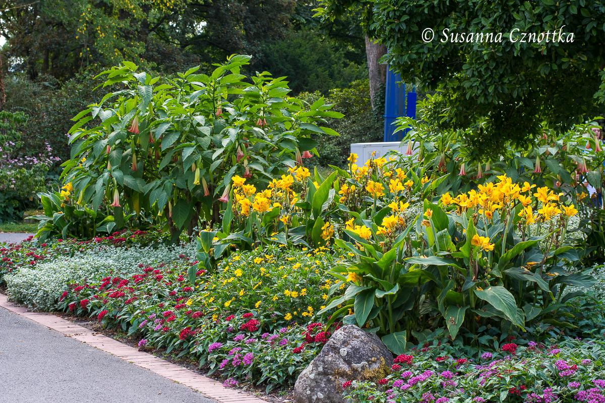Tropischer Look mit Engelstrompete (Brugmansia) und gelbem Indischem Blumenrohr (Westfalenpark Dortmund)