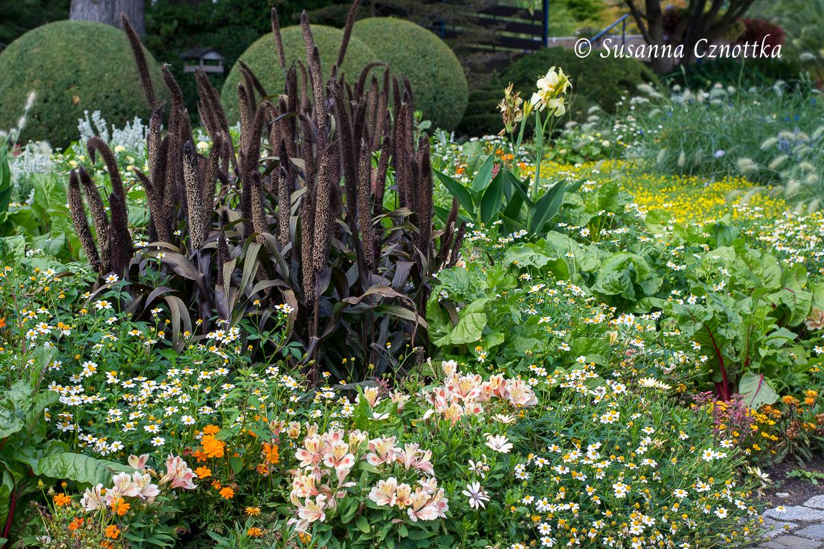 Dunkler Hingucker: eine rotlaubige Sorte der Perlhirse (Pennisetum glaucum)  im Wechselflor (Westfalenpark Dortmund)