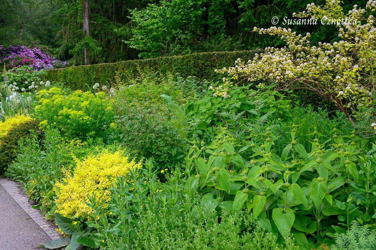 Gelblaubige Berberitzen und gelbgrüner Blasenstrauch (Physocarpus opulifolius) leuchten in einer Rabatte