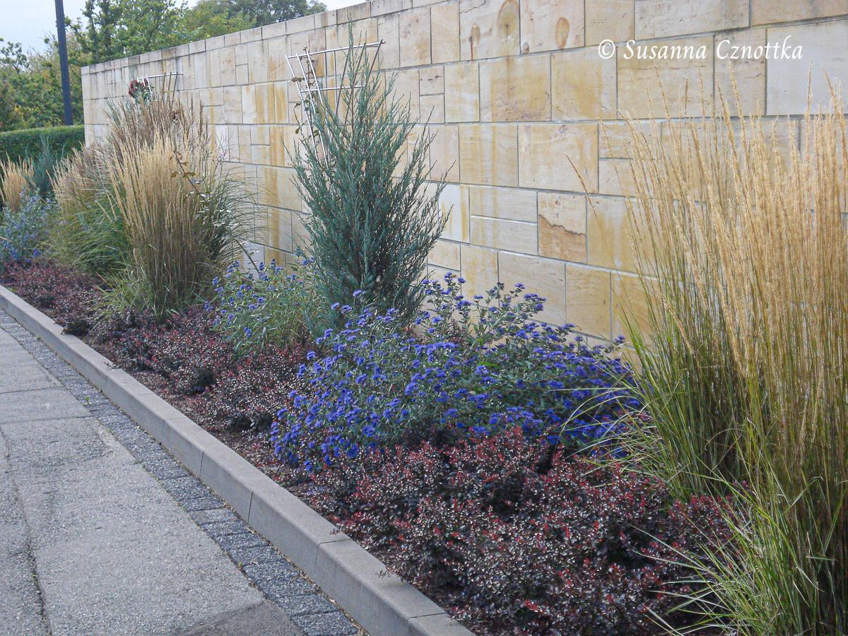 "Bartblume ""Kew Blue"" mit rotlaubiger Berberitze (Berberis) und Foerster's Reitgras"