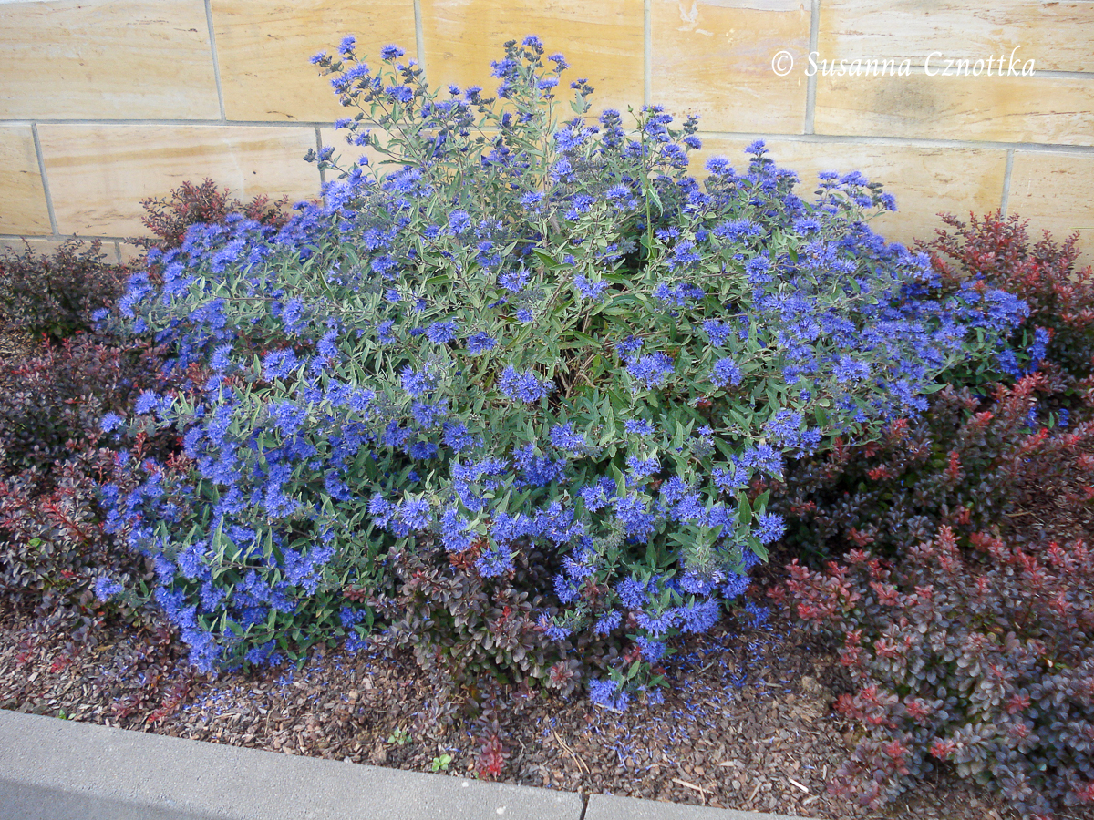"Bartblume - Caryopteris ""Kew Blue"""