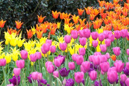 Leuchtende Tulpen