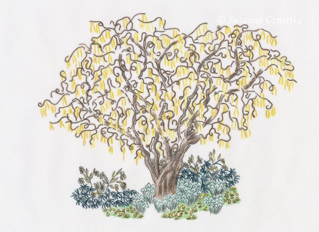 Zeichnung: Winterliche Kombination mit der Korkenzieherhasel